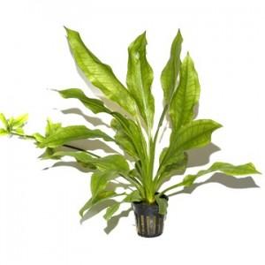 Plante aquatique Echinodorus bleheri