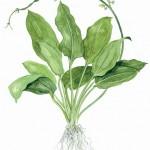 echinodorus-bleheri-04