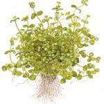 Plante aquatique Bacopa Australie