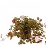 ludwigia-palustris