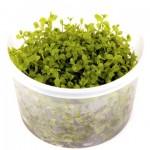 micranthemum-monte-carlo