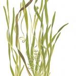 Plante aquatique Vallisneria americana natans