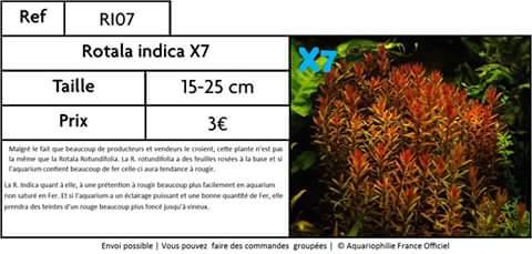 Plante aquatique Rotala rotundifolia