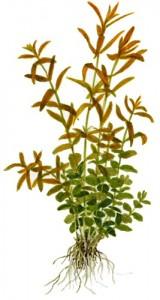 rotala-rotundifolia (4)