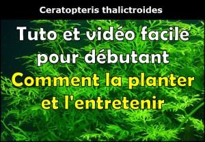 Fougère Ceratopteris thalictroides