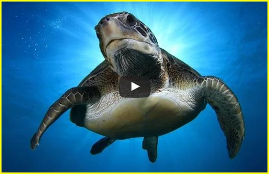 Imbriquée tortues de mer et musique de relaxation